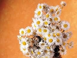 <b>Ромашка</b>: история цветка - статьи о цветах на Флора Экспресс