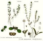 callitrichaceae