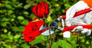 <b>5</b> Tips for Pruning <b>Roses</b> Like a Pro | Gardener's Path