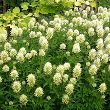 Ornamental Clover Seeds | TRIFOLIUM OCHROLEUCUM ...