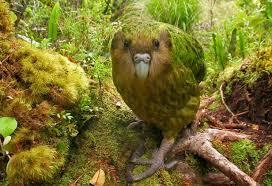 Image result for kakapo images
