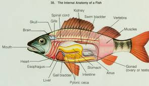 fish and anatomy on pinterest