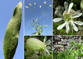 Silene vulgaris (Moench) Garcke subsp. vulgaris - Portale sulla flora ...