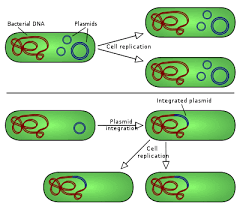 plasmid   wikipediathere are two types of plasmid integration into a host bacteria  non integrating plasmids replicate as   the top instance  whereas episomes
