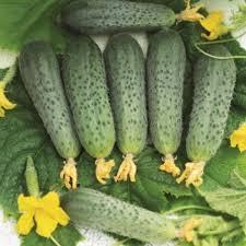 <b>Огурец Бастион F1</b> - сильнорослый - купить <b>семена</b> в интернет ...