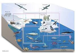Image result for antarctic food chain diagram