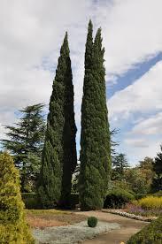 Cipreste-italiano