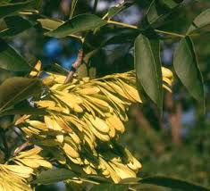 Online Virtual Flora of Wisconsin - Fraxinus pennsylvanica