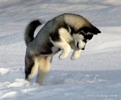 Image result for husky puppies