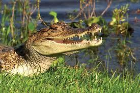 Resultado de imagen para el caiman del orinoco