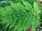 Images & Illustrations of chain fern