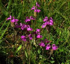 Scrophulariaceae in Flora of China @ efloras.org