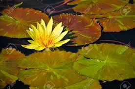 Image result for lily pads images