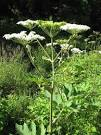 Images & Illustrations of cow parsnip