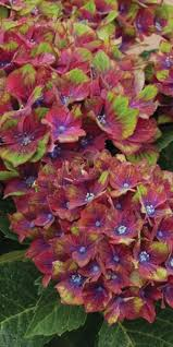 images about hydrangeas oakleaf hydrangea ruby slippers google search