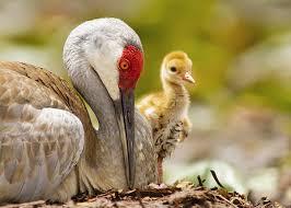 Sandhill <b>Crane</b> | Audubon Field Guide