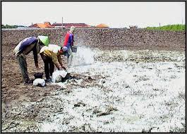 Image result for cara pemberian dolomit pada sawah