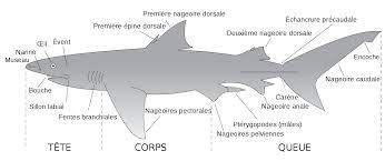 file parts of a shark fr svg open
