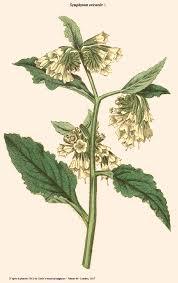 Symphytum orientale — Wikipédia