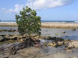 mangrove essay com mangrove essay