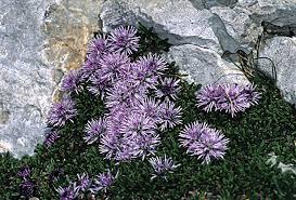 Globulariaceae
