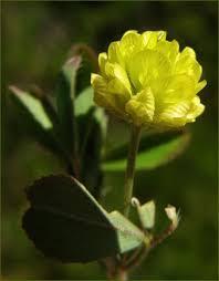 Trifolium dubium Calflora