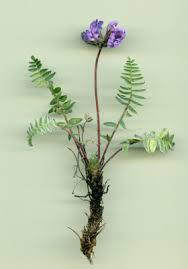 Oxytropis neglecta Ten. subsp. pyrenaica (Godr. et Gren.) O. Bolòs ...