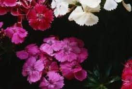 How to Care for Dianthus Barbatus | Home Guides | SF Gate