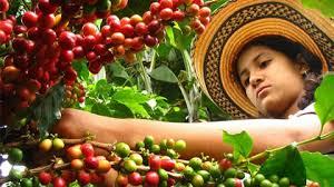 Resultado de imagen para caficultura colombiana