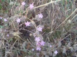 Limonium ferulaceum - Wikipedia