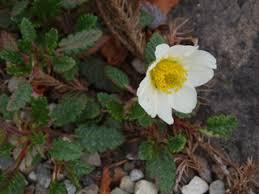 Dryas octopetala (Eightpetal mountain-avens)   Native Plants of ...