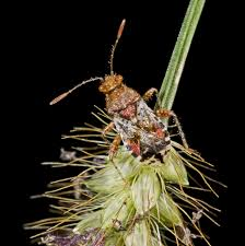 Scentless plant bugs