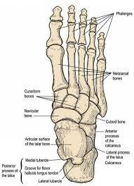 foot anatomy bones joints   human anatomy libraryfoot anatomy bones joints