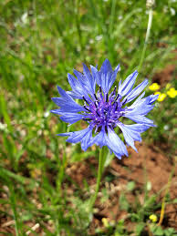 Centaurea cyanus - Wikipedia