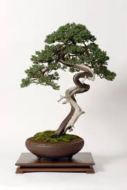 physiology of shaping bonsai trees bought bonsai tree