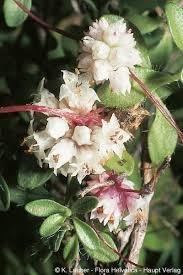 Cuscuta epithymum (L.)