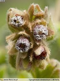 Cynoglossum clandestinum | Flora-On