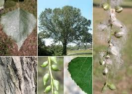 Famiglia Salicaceae - Elenco dei generi - Flora Italiana