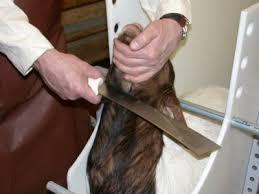 """Résultat de recherche d'images pour """"animalele in abattoir"""""""