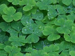 Image result for field clover