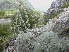 Artemisia lanata | Grey gardens