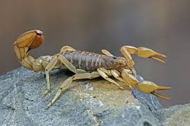 <b>Scorpion Stings</b>: Myths and Facts