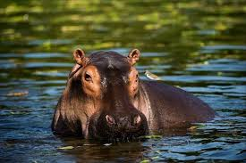 Facts About <b>Hippos</b> | Live Science