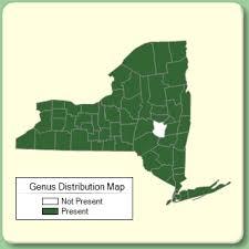 Cardamine - Genus Page - NYFA: New York Flora Atlas - NYFA ...