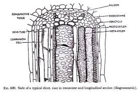 internal structure of root  with diagrams stele of typical dicot  root in transverse and longitudinal section