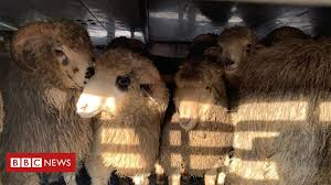 <b>Queen</b> Hind: <b>180</b> rescued sheep arrive at new home in Romania ...