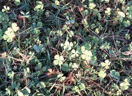 Finding a <b>four</b>-<b>leaf clover</b>, <b>luck</b> and legends | Citizen Matters
