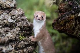 weasel apparently shuts down world s most powerful particle collider a small mammal possibly a weasel gnawed through a power cable at the