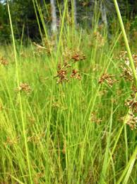 Juncus effusus - Michigan Flora