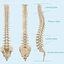 Image result for spinal cord of camel